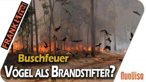 Firebirds: Warum Vögel Buschfeuer legen